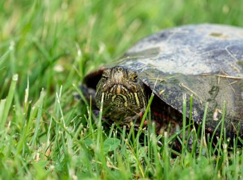 A red-eared slider sits in the grass.