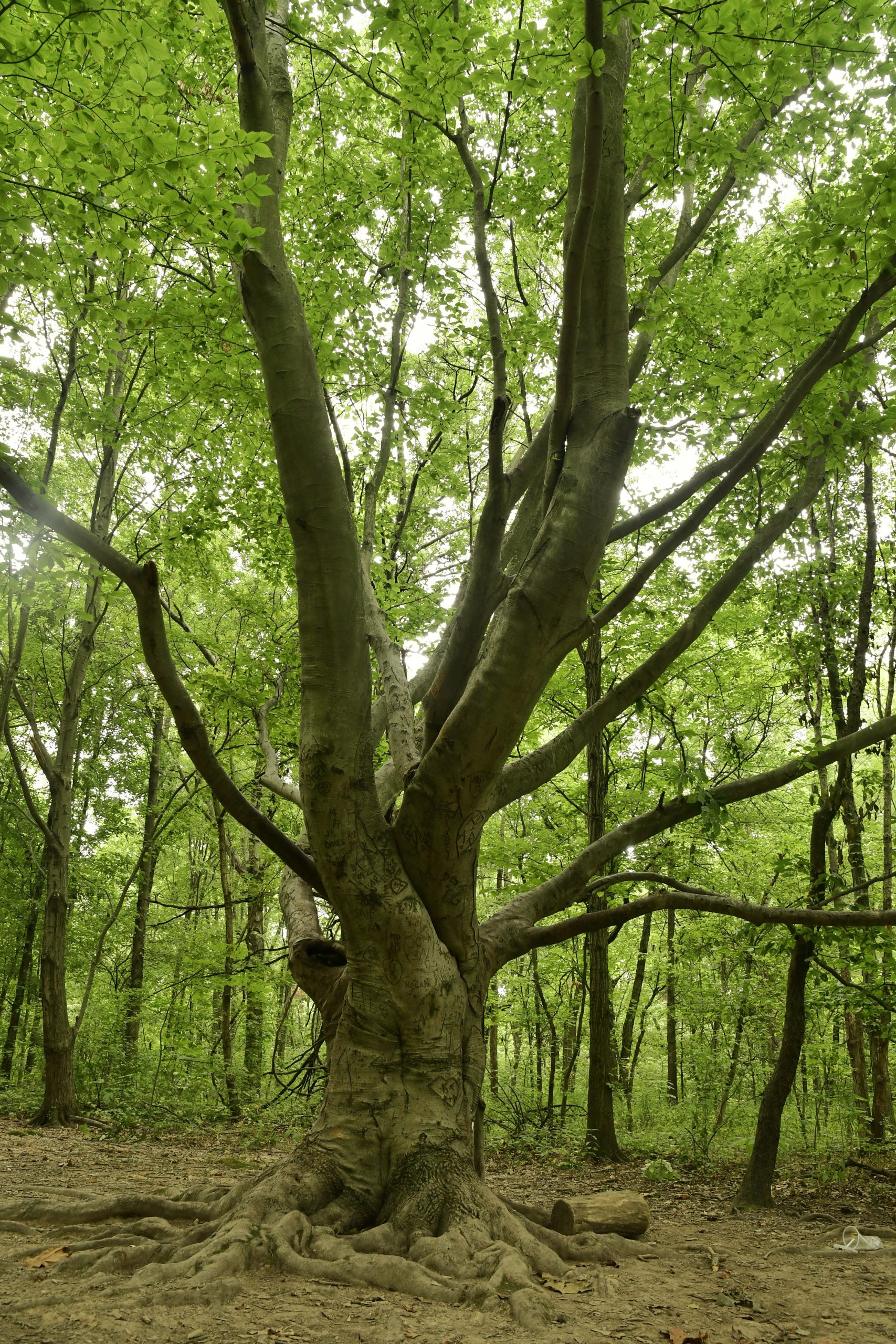 A beech tree stands tall in the forest at Farbach-Werner Nature Preserve.
