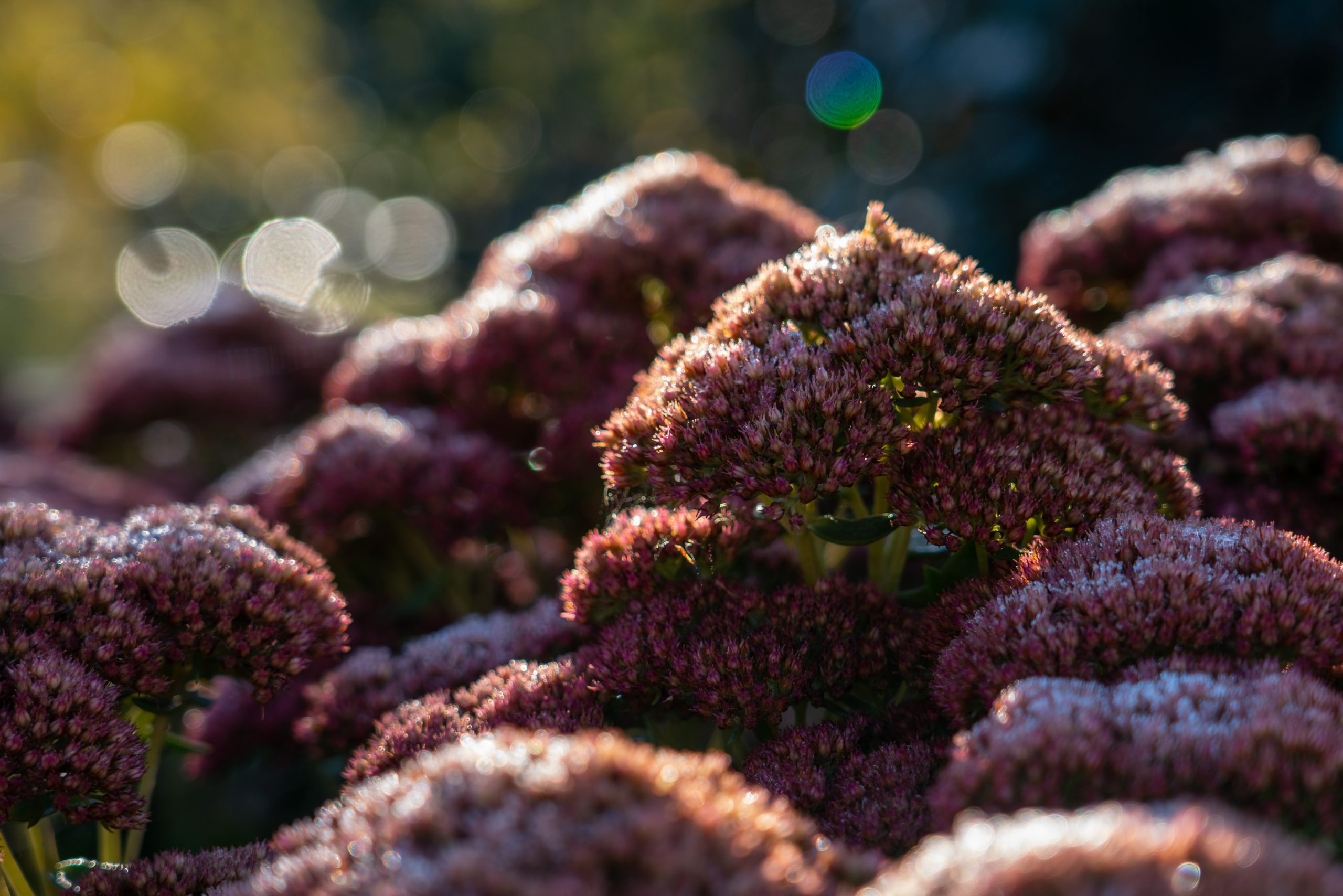 Frost covers purple-pink flowers early on a fall morning at Winton Woods.