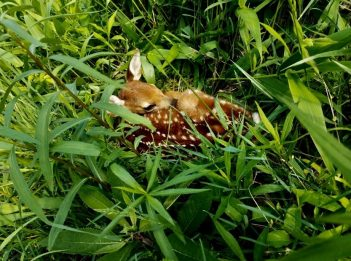 A brown fawn sits hidden among the tall greenery at Parky's Farm
