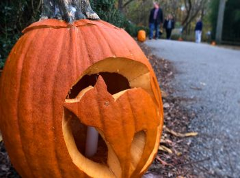A pumpkin on the Pin Oak Trail is carved to create a cat jack-o'-lantern.