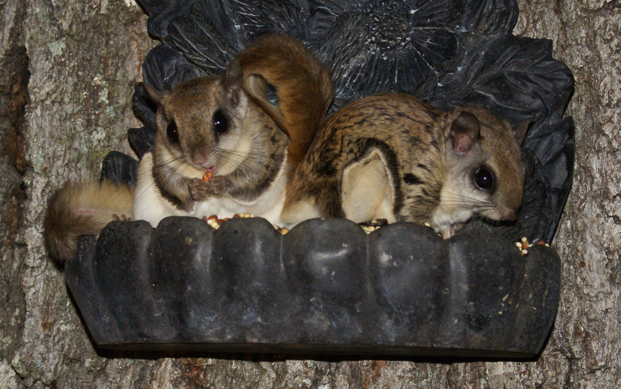 Two southern flying squirrels enjoy a midnight snack from a bird feeder.