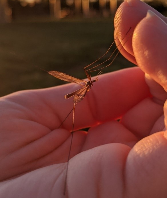 A crane fly (Tipulidae family) sits in a person's hand, showing its profile