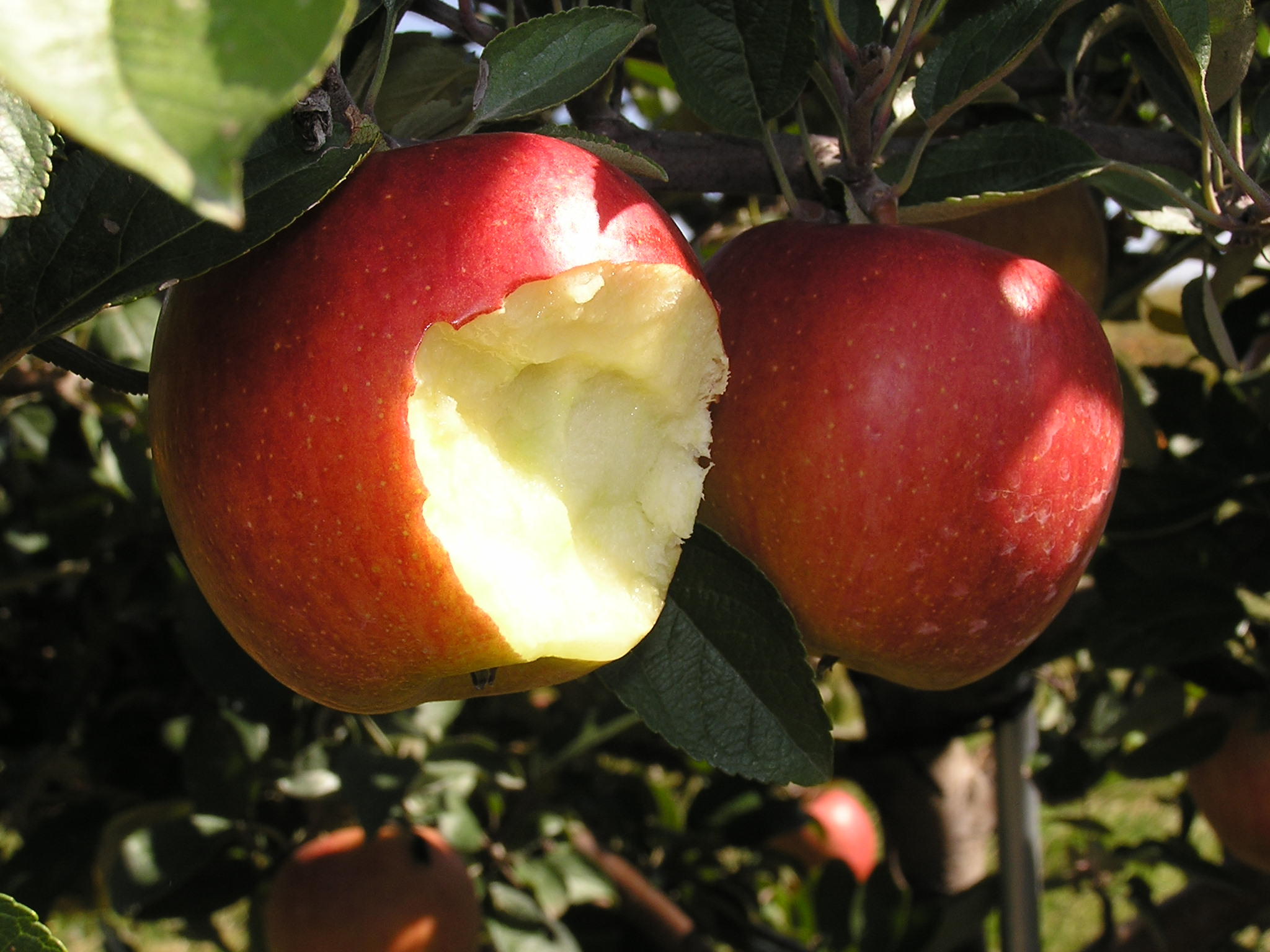 Two red apples hang from a branch. One apple has a few bites taken out of it.