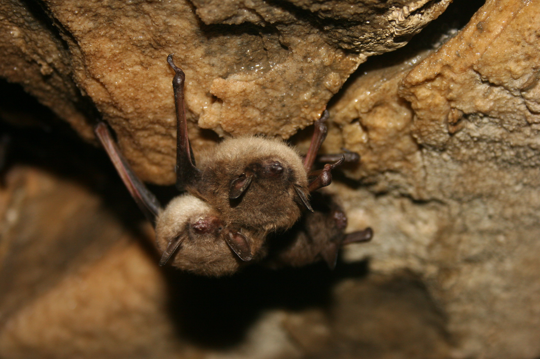 A group of little brown bats hang from the top of a cave.