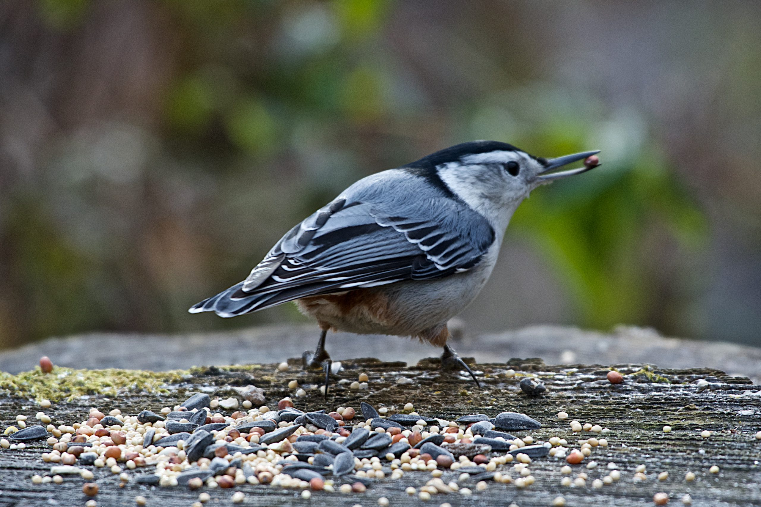 A nuthatch sits on a log. It has birdseed in its beak on an early winter morning.
