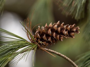 A lone pine cone and a few pine needles poke out from a tree branch.