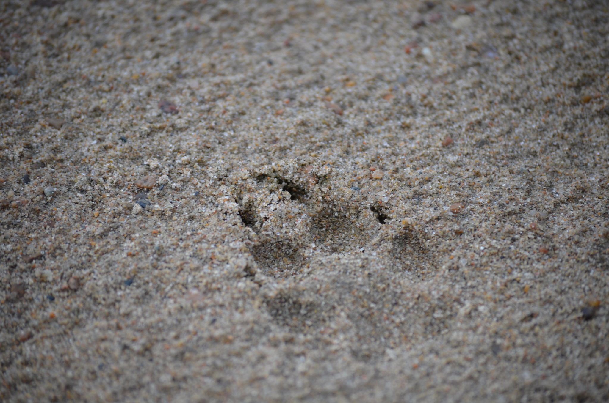 A coyote track is imprinted on a sandbar