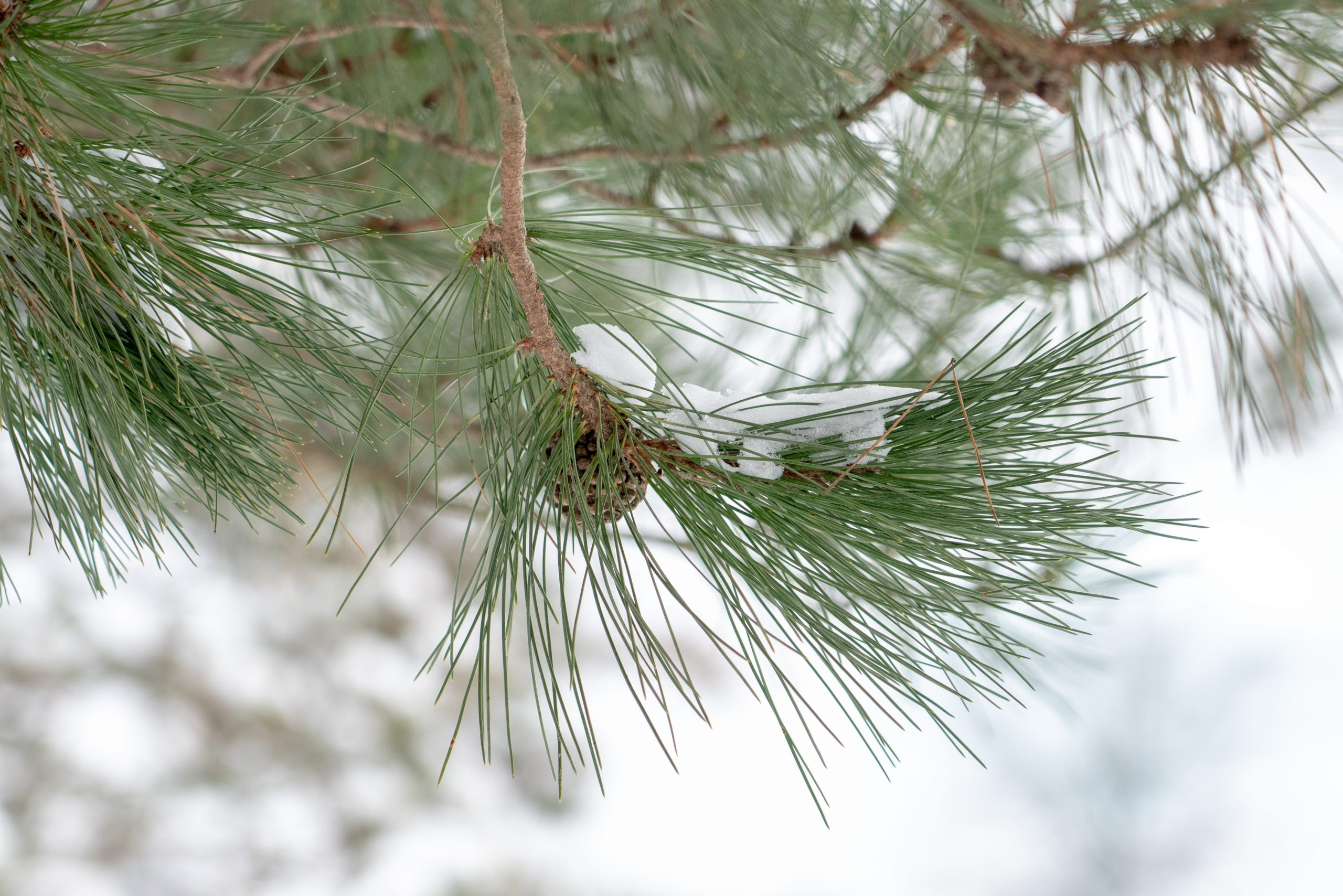 Pine needles covered in snow.