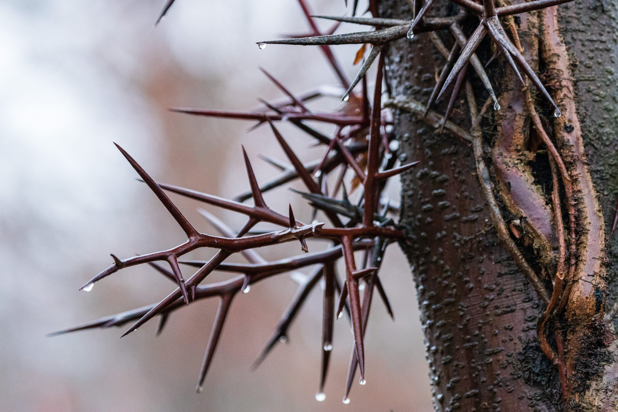 Thorns grow out of a honey locust tree. Raindrops drip from the thorns.