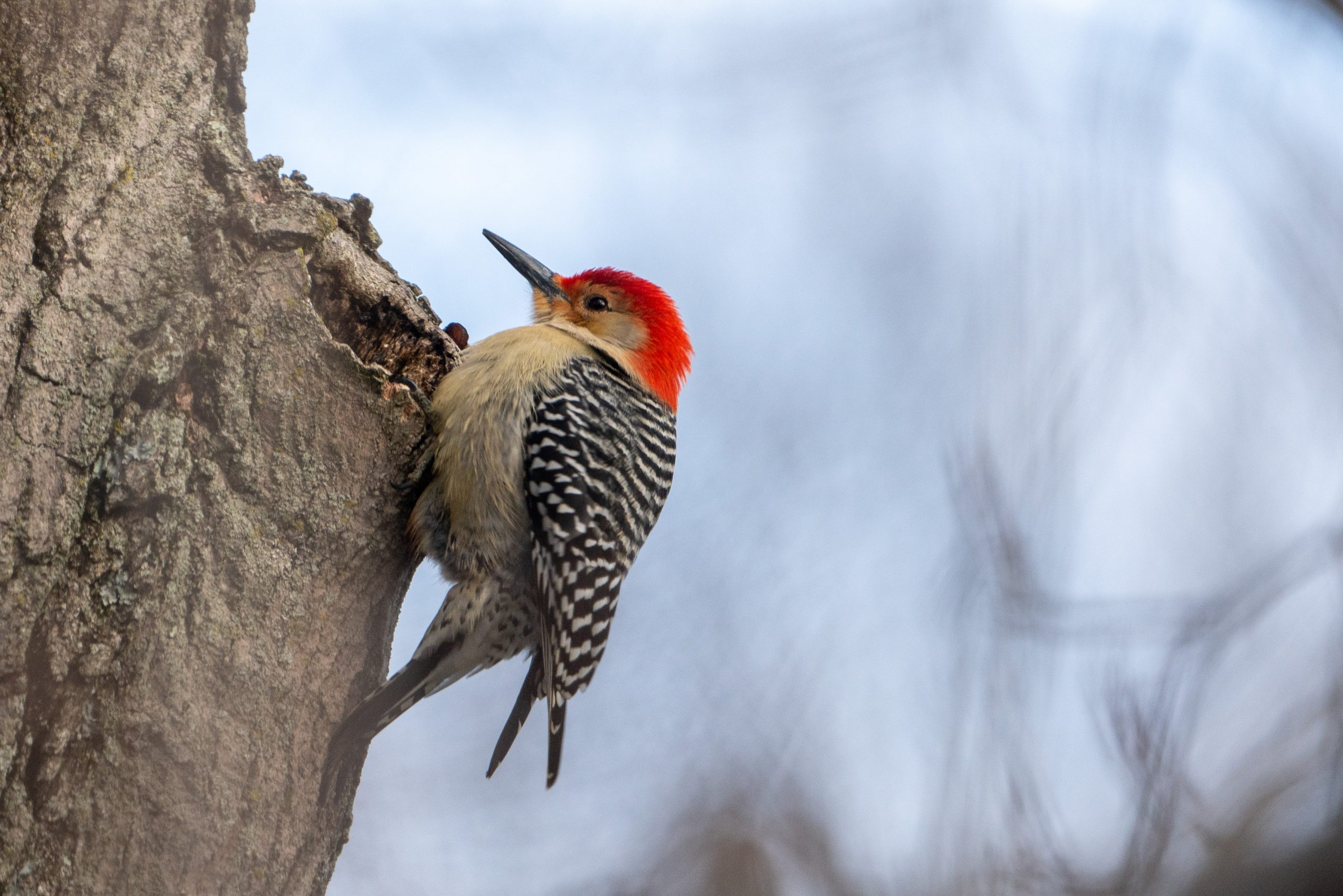 A red-bellied woodpecker sit on a tree, pecking around for potential food.