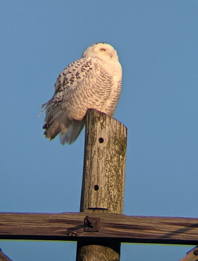 A white snowy owl sits atop a wooden fence post.