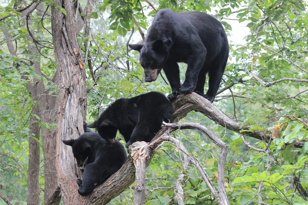 A female black bear stands in a tree with her two cubs.