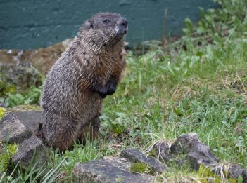 A groundhog stands on its hind legs outside of its den.