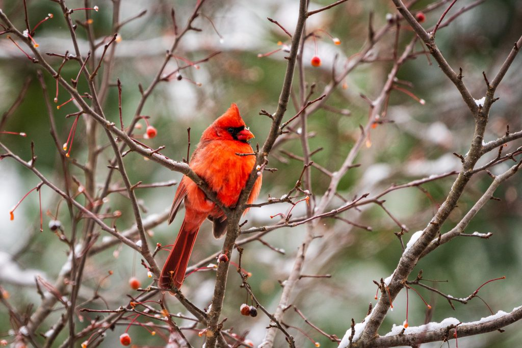 A bright red northern cardinal sits on a branch on a winter day.