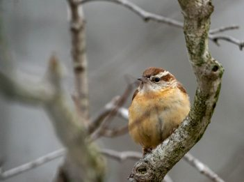A Carolina wren sits in the bare branches of a tree.