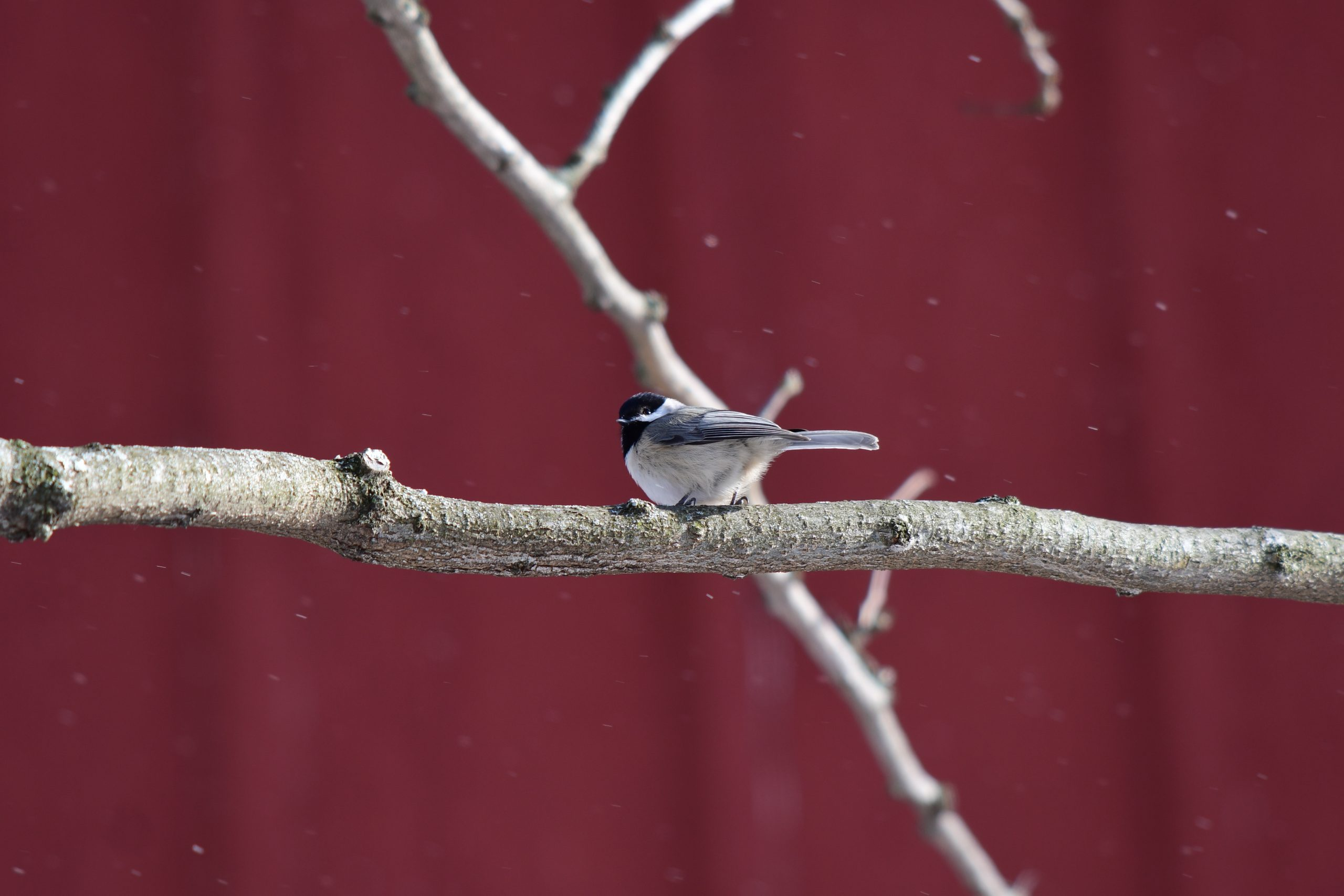 A Carolina Chickadee sits on a tree branch in front of a bright red barn.