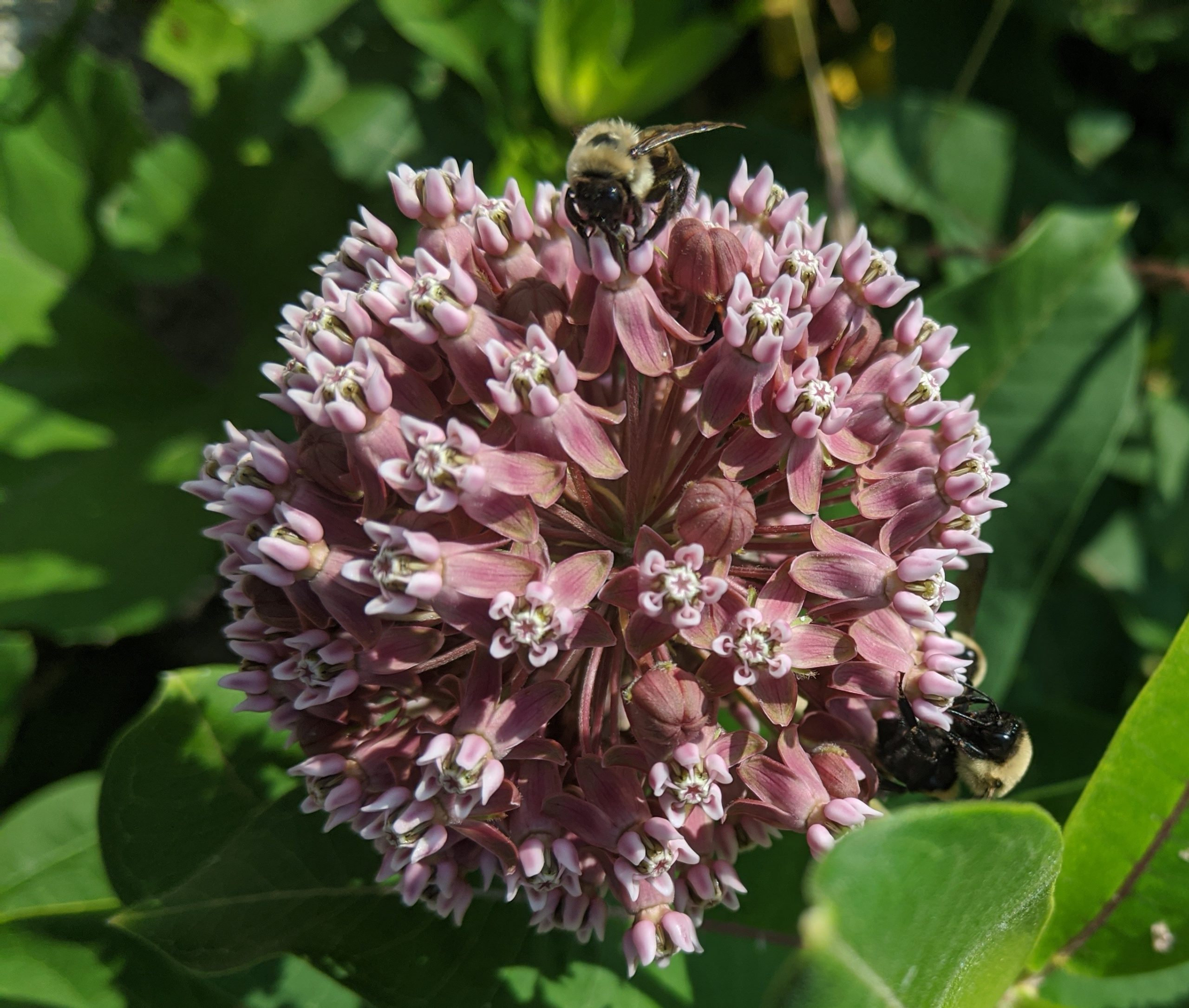 A bee lands on the pink flower of common milkweed.