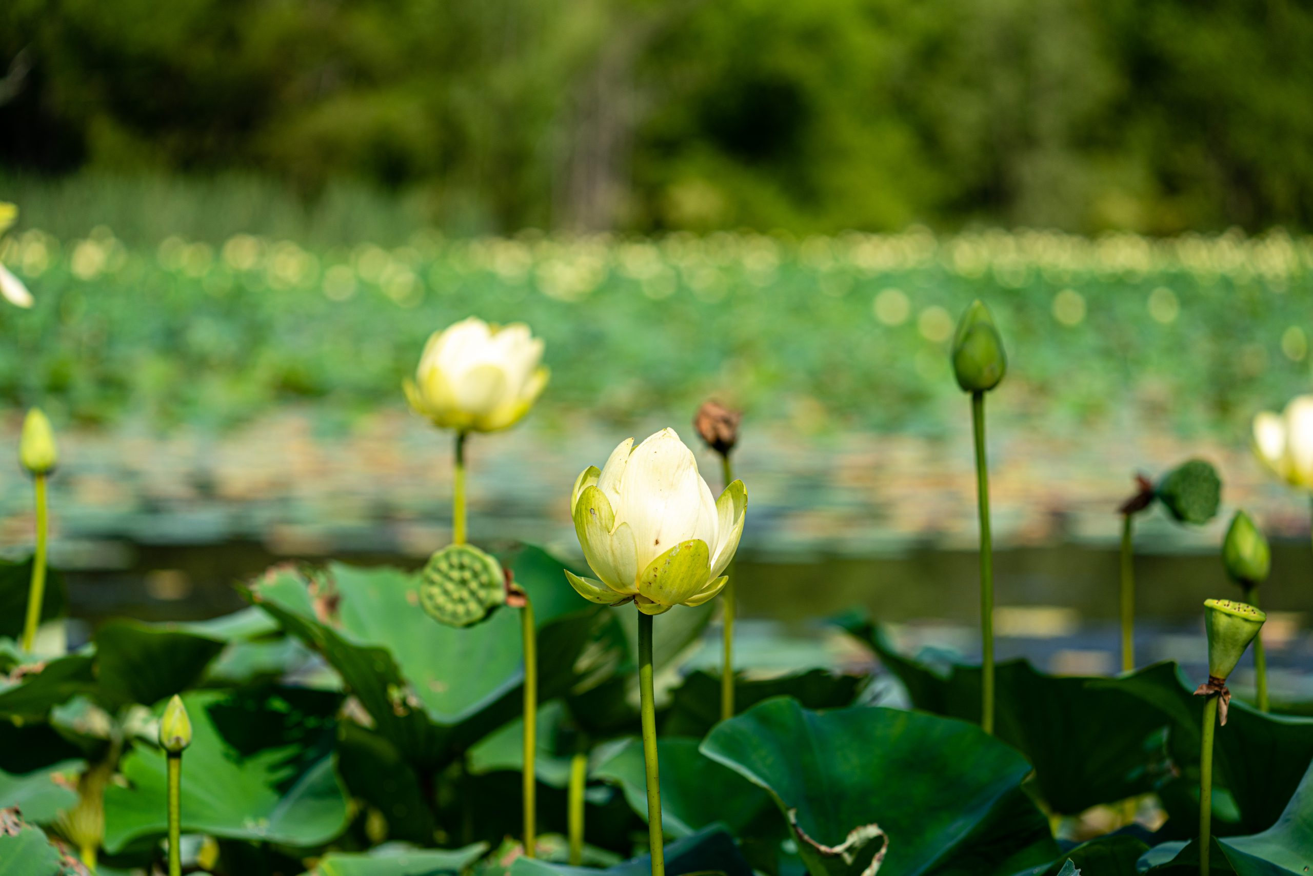 Lotus flowers and lotus pads cover the surface of a pond.