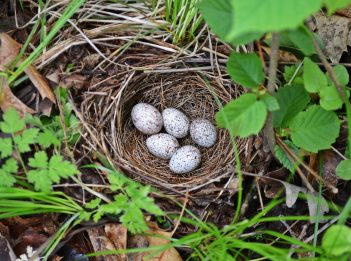 Five white and brown speckled eggs sit in a hidden nest.