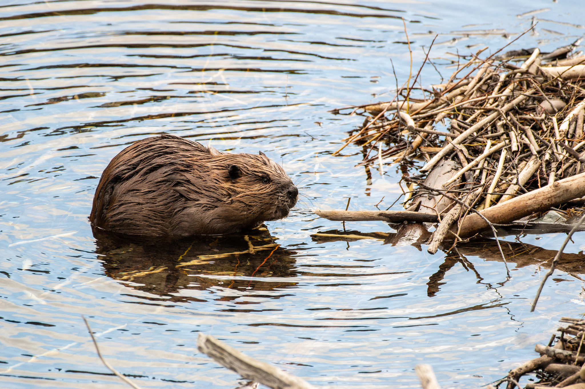 A beaver floats in water near a pile of branches and sticks.