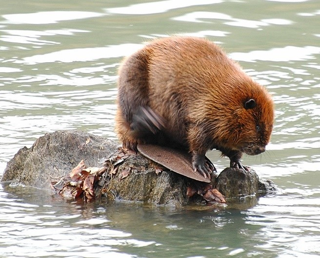 An American beaver sits on a rock in a lake.