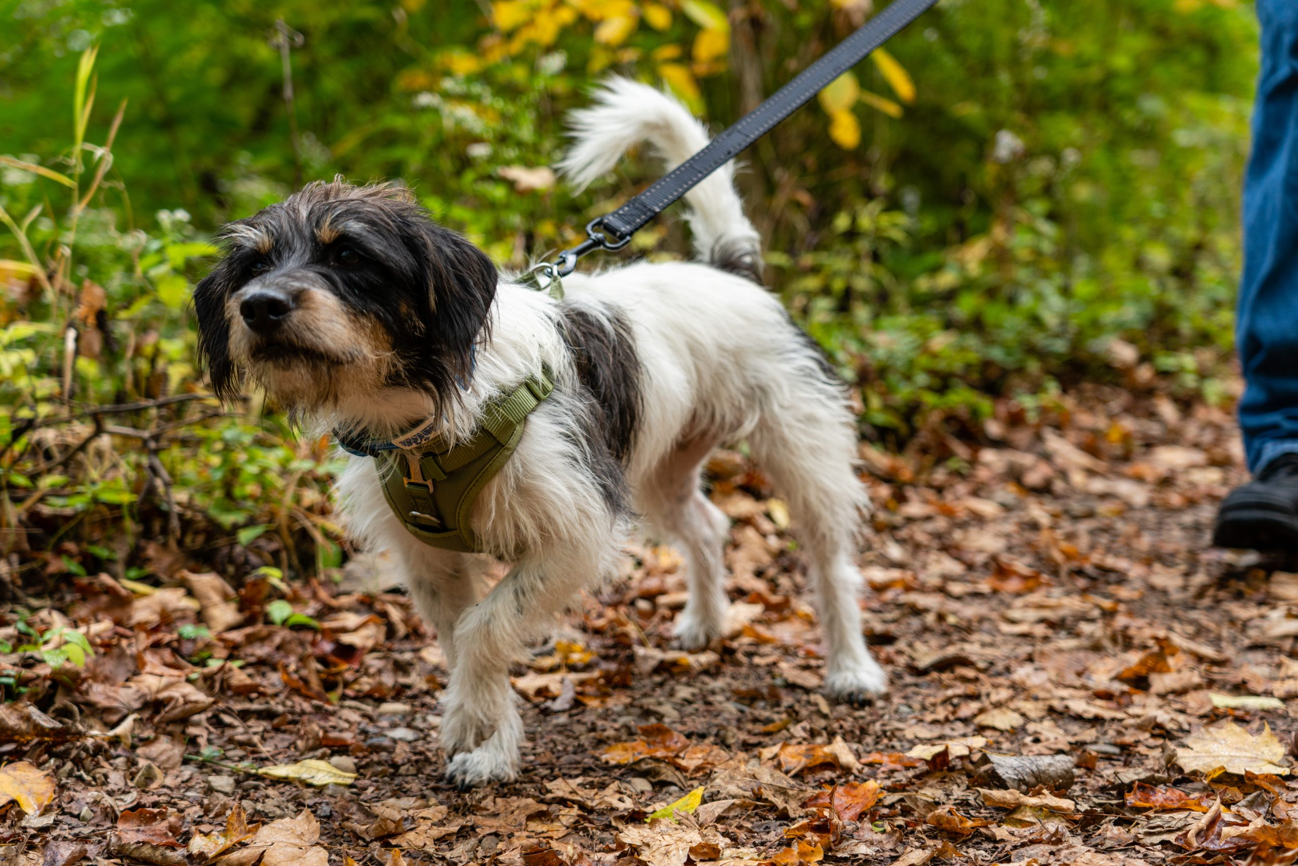 A dog is walked on its leash on a nature trail.